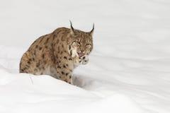 Европейский рысь в снеге Стоковая Фотография