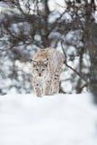 Европейский рысь идя в снег Стоковая Фотография