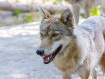 Европейский серый волк (волчанка волка) Стоковые Фото