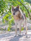Европейский серый волк (волчанка волка) Стоковая Фотография RF