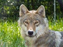 Европейский серый волк (волчанка волчанки волка) Стоковое фото RF