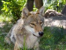 Европейский серый волк (волчанка волчанки волка) Стоковое Фото