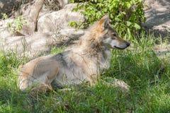 Европейский серый волк (волчанка волчанки волка) Стоковое Изображение RF