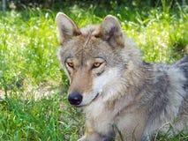 Европейский серый волк (волчанка волчанки волка) Стоковая Фотография RF