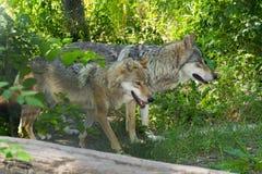 Европейский серый волк (волчанка волчанки волка) Стоковая Фотография