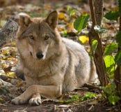 европейский серый волк Стоковые Фото