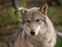европейский серый волк Стоковые Фотографии RF