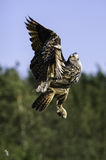 Европейский сыч орла восходя к полету Стоковая Фотография