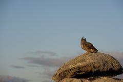 Европейский сыч орла Стоковое фото RF