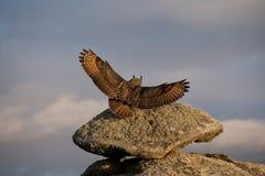 Европейский сыч орла Стоковая Фотография