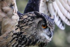 Европейский сыч орла Стоковое Изображение RF