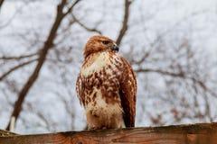 Европейский сыч орла eurasian близкая декоративная сторона выходит губам розовый вал вверх Большие глаза премудрость Стоковые Изображения