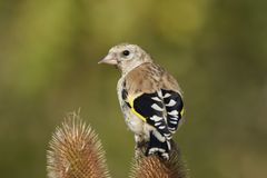 Европейский щегол щегла goldfinch Стоковая Фотография