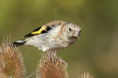 Европейский щегол щегла goldfinch Стоковое Фото