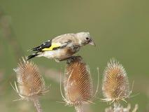 Европейский щегол щегла goldfinch Стоковые Фотографии RF