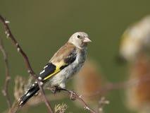 Европейский щегол щегла goldfinch Стоковая Фотография RF