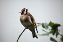 Европейский щегол щегла goldfinch Стоковые Изображения