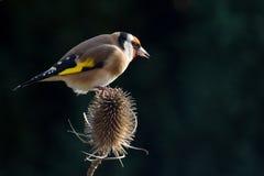 Европейский щегол щегла goldfinch Стоковое фото RF