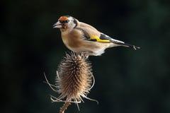 Европейский щегол щегла goldfinch Стоковое Изображение
