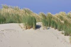 Европейский beachgrass в дюнах Ameland, Голландия Стоковое фото RF