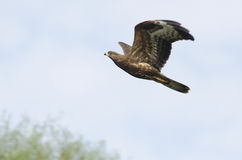 Европейский buzzard меда Стоковое Изображение