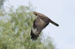 Европейский buzzard меда Стоковые Изображения RF