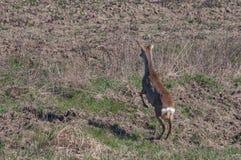 Европейский capreolus Capreolus оленей косуль скача в избежание заказа стоковые фото