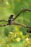 европейский flycatcher pied Стоковая Фотография