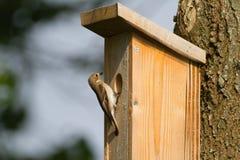 европейский flycatcher pied Стоковое Изображение