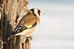Европейский Goldfinch, щегол щегла, сидя на ветви Снежок на заднем плане стоковые фотографии rf