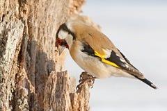 Европейский Goldfinch, щегол щегла, сидя на ветви Снежок на заднем плане стоковая фотография rf