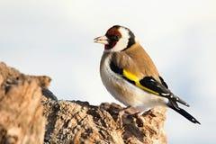 Европейский Goldfinch, щегол щегла, сидя на ветви Снежок на заднем плане стоковые изображения