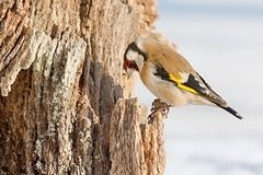 Европейский Goldfinch, щегол щегла, сидя на ветви Снежок на заднем плане Стоковое Фото