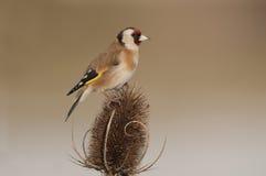 Европейский Goldfinch (щегол щегла) на ворсянке зимы Стоковое Изображение RF
