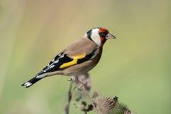 европейский goldfinch стоковое фото