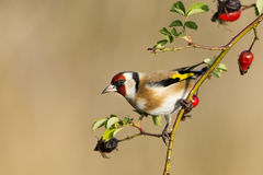 Европейский Goldfinch Стоковое Изображение RF