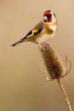 Европейский Goldfinch Стоковое Изображение