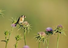 европейский goldfinch Стоковая Фотография