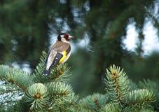 Европейский goldfinch & x28; Carduelis& x29 щегла; сидеть на ветви ели стоковое фото rf