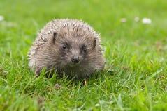 европейский hedgehog Стоковые Изображения RF