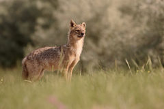Европейский jackal, moreoticus волка aureus Стоковое Изображение