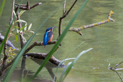 Европейский kingfisher садился на насест на ветви, реке Темзе, Великобритании Стоковое Изображение RF