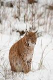 европейский lynx Стоковое Фото