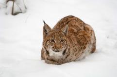 европейский lynx Стоковые Изображения