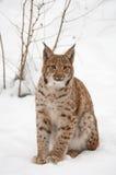 европейский lynx Стоковая Фотография RF