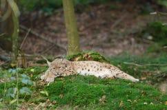 европейский lynx Стоковое фото RF