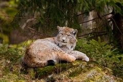 европейский lynx Стоковое Изображение