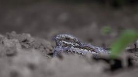 Европейский Nightjar пряча на почве стоковые изображения
