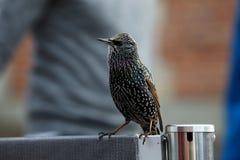 Европейский starling умоляя для еды Стоковая Фотография RF