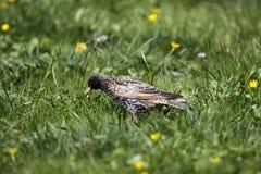 европейский starling Стоковое фото RF